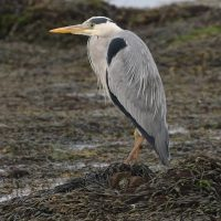 Grey Heron at Cemlyn Natire Reserve