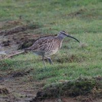 Whimbrel at Cemlyn Natire Reserve